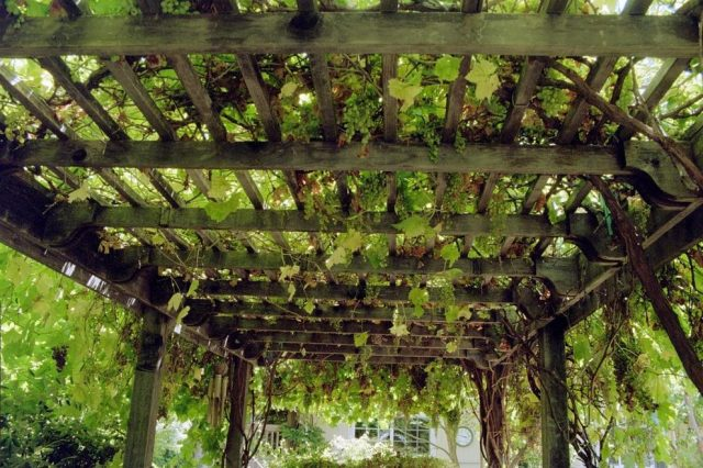 trailing-vines-landscape-traditional-with-covered-walkway-pergolas
